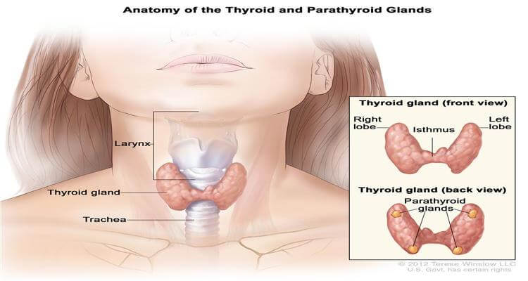 Directs the working of the thyroid organ